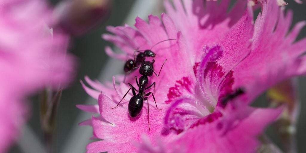 ants on a pink flower