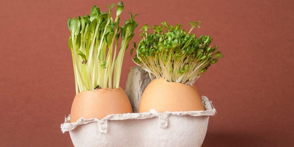 seeds germinating in eggshells