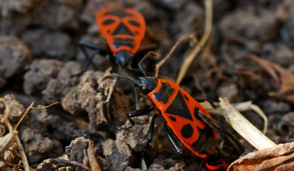 firebugs in the soil
