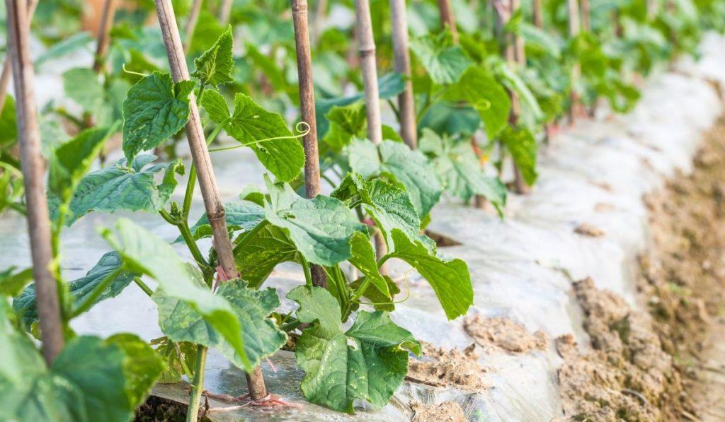Growing cucumbers in raised bed garden