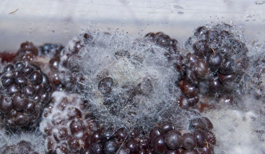 mucor mold on berries