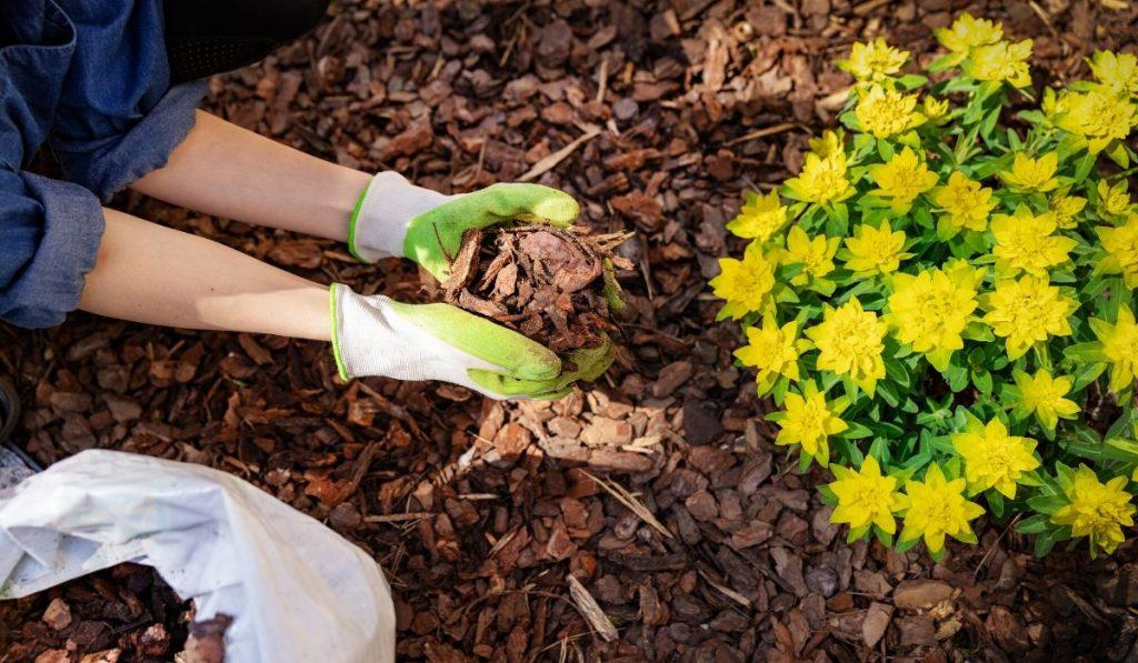 adding mulch around a yellow bush