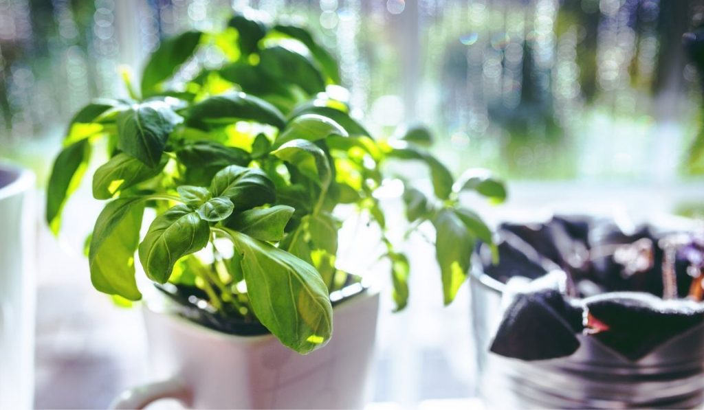 basil growing in a kitchen window