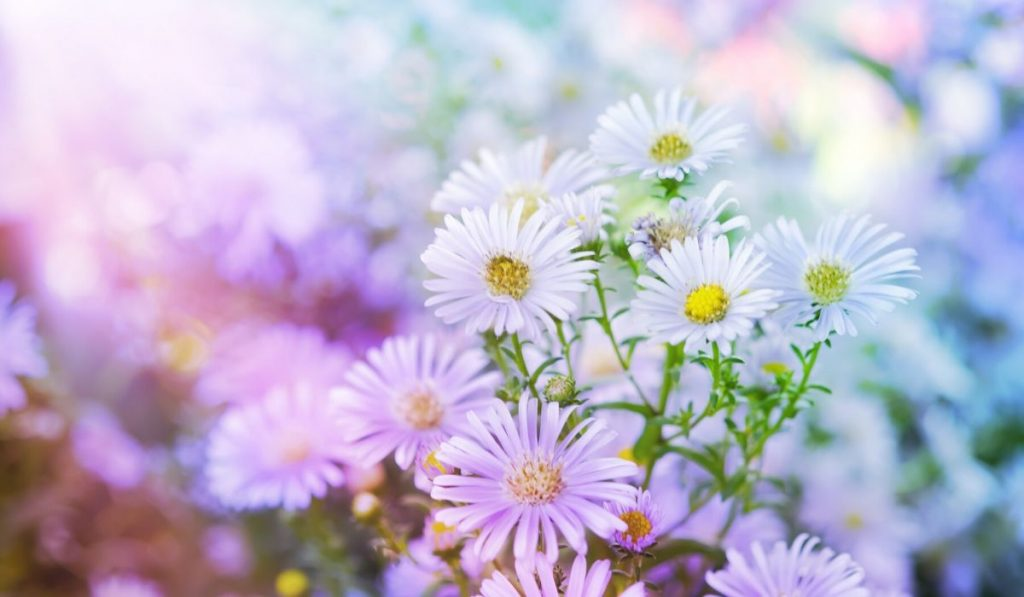 beautiful asters in a raised bed garden