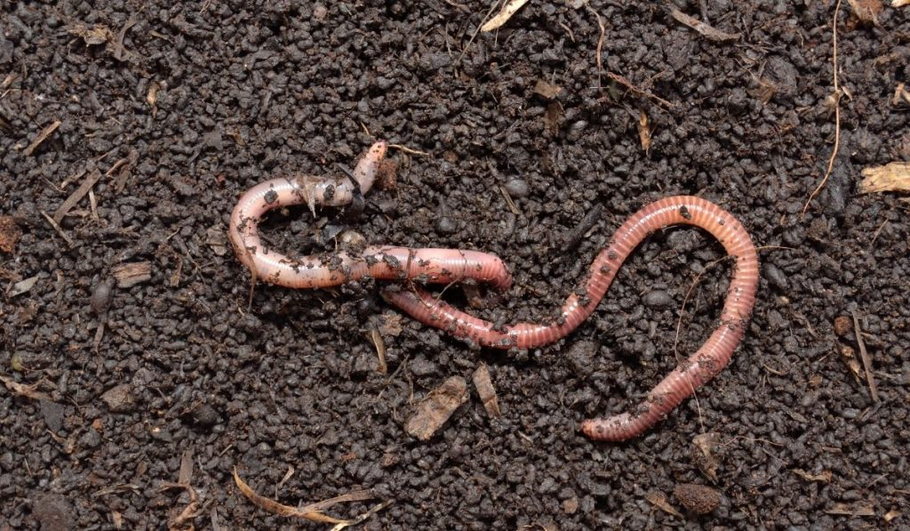 worms in healthy soil