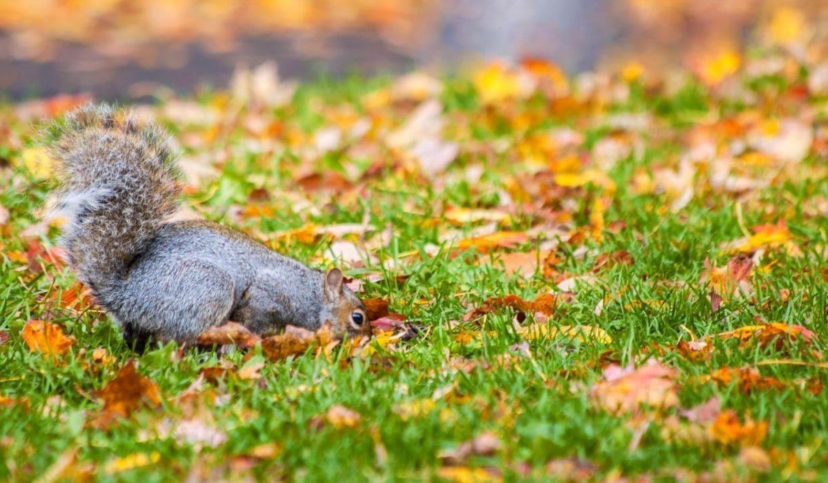Garden Rodent