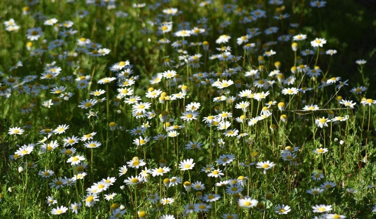 daisy cover crops