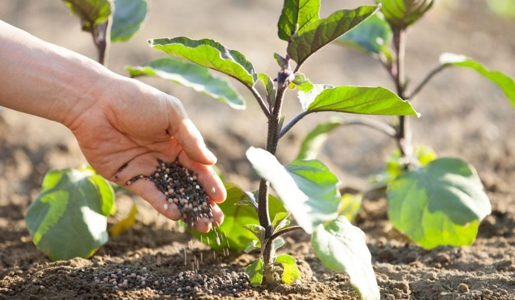 direct application of granular fertilizer to soil and plant