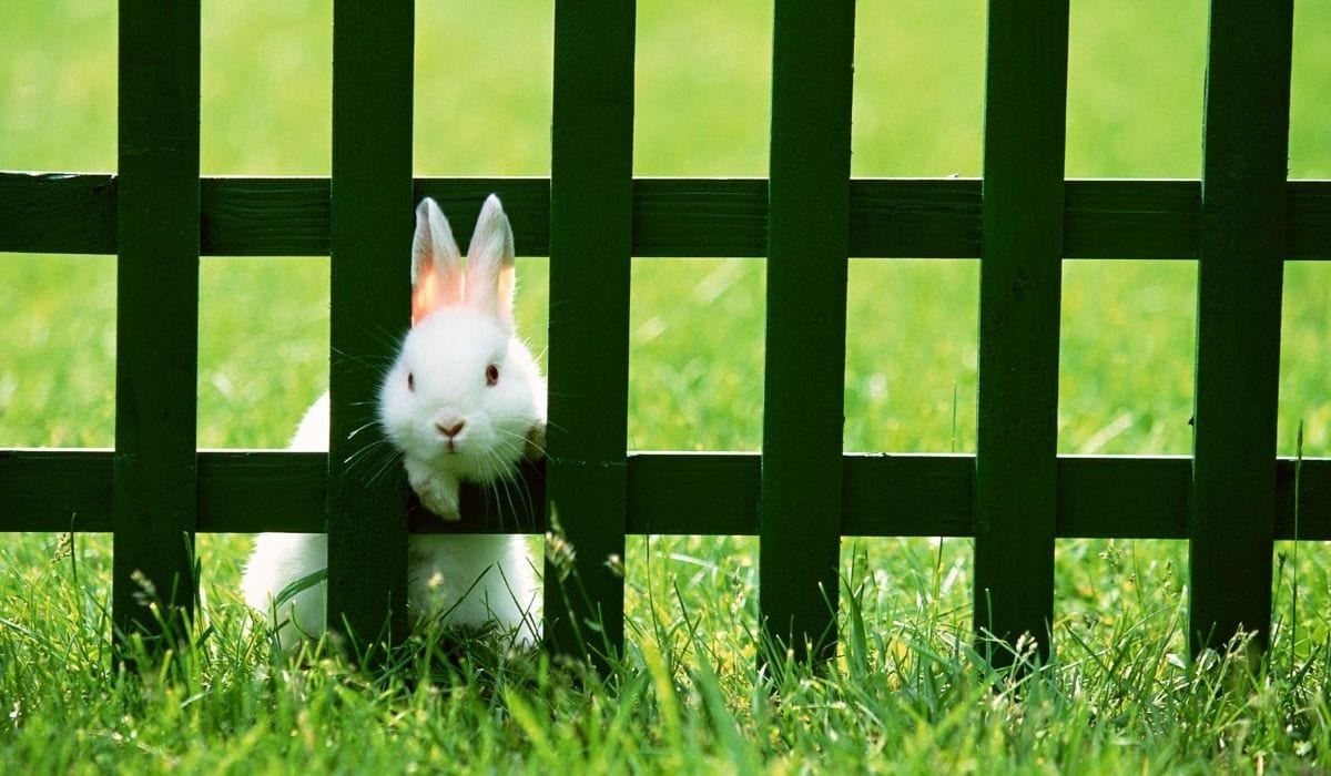 rabbit outside the fence
