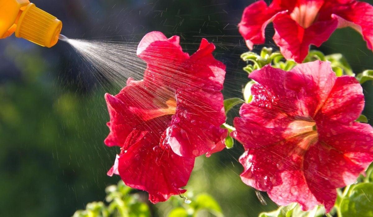 spraying liquid fertilizer to plant