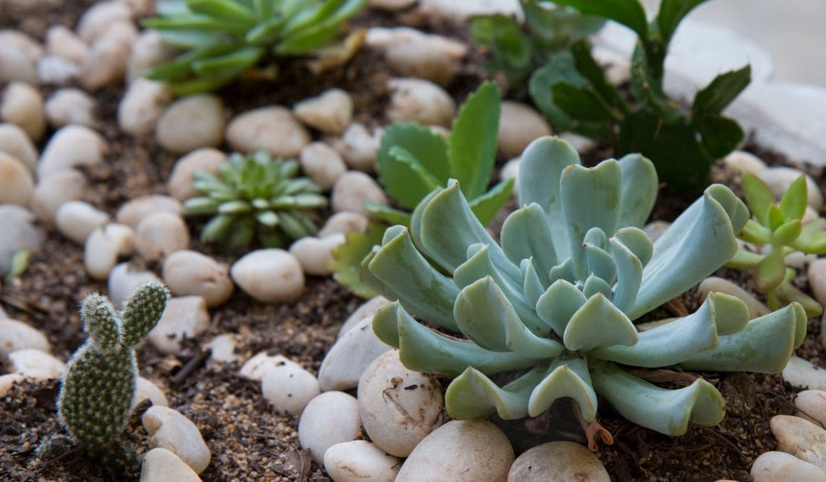 Succulents in pebbles garden