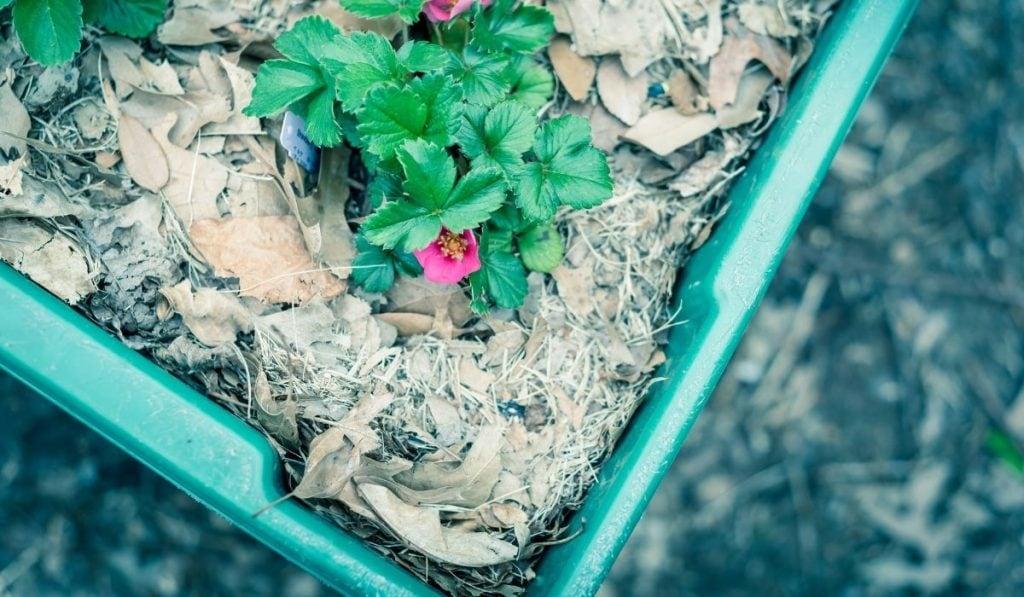 Organic leaves mulch