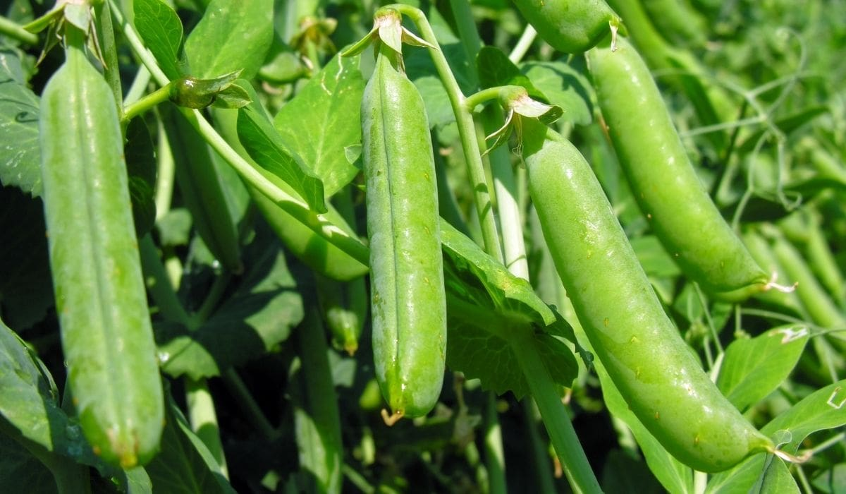 pea pods growing in a raised garden bed