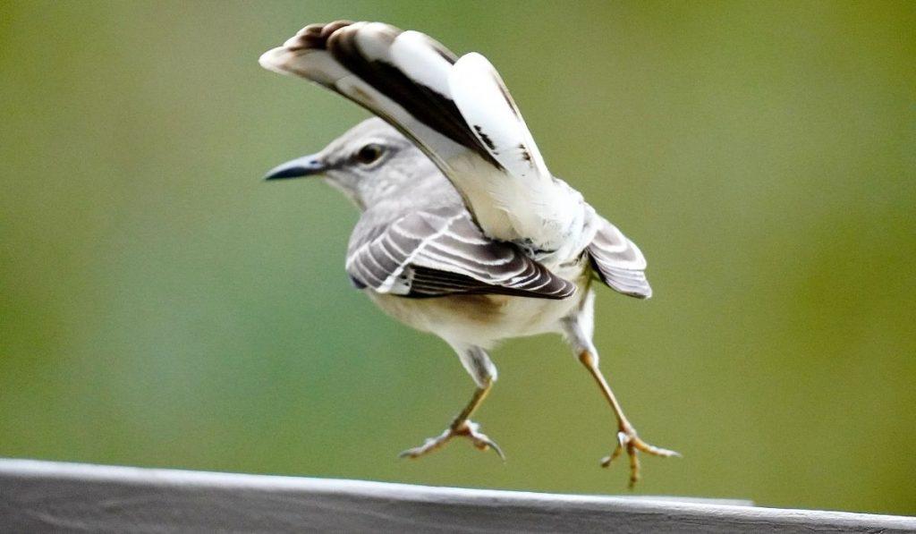 Mockingbirds Aggressive