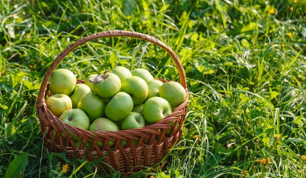 Antonovka Apples