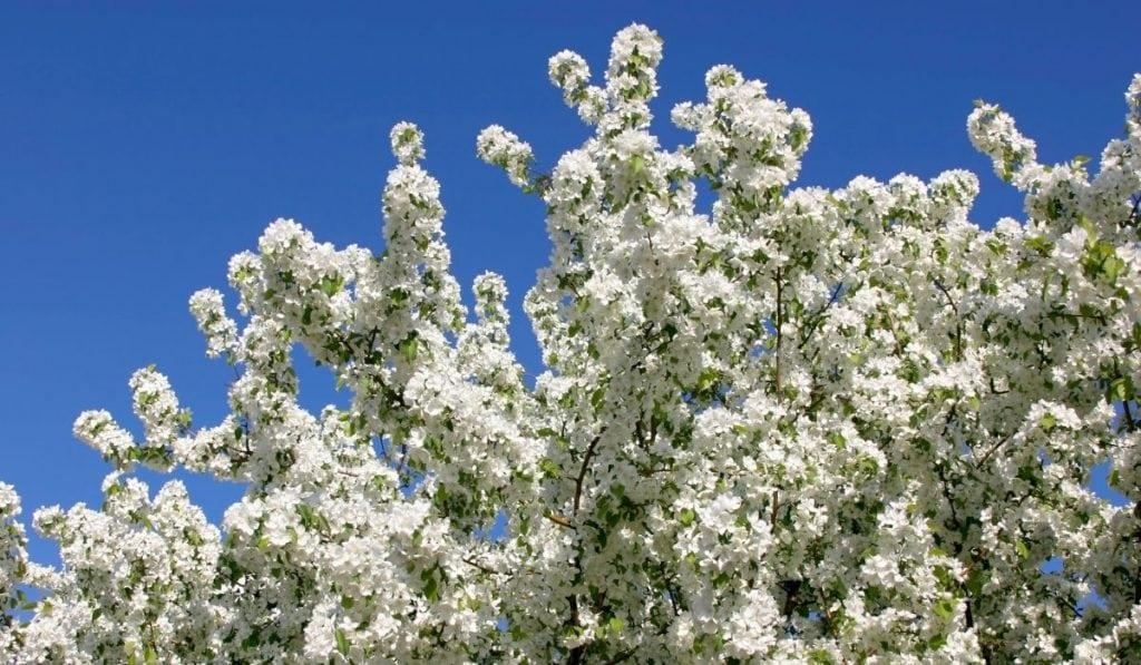Apple Tree Pollination