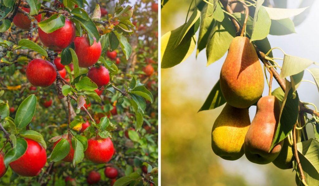 Apple Tree and Pear Tree