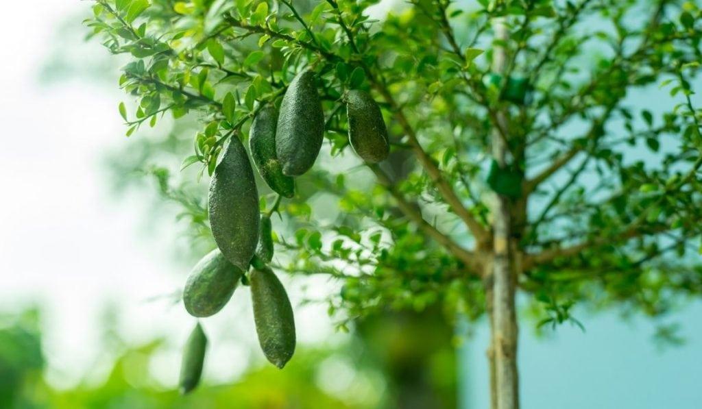 Australian Finger Lime Tree