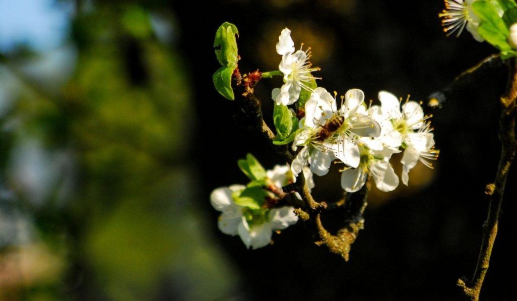 Bee Pollinating Apple Blossom