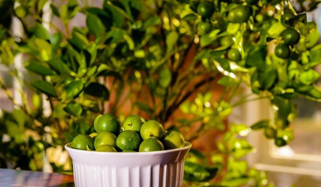 Calamansi Lime Tree