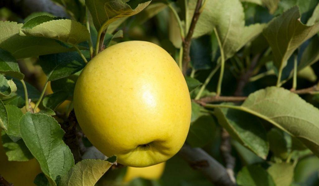 Crispin Green-Yellow Japanese apples