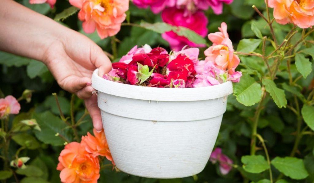 Harvesting rose petals