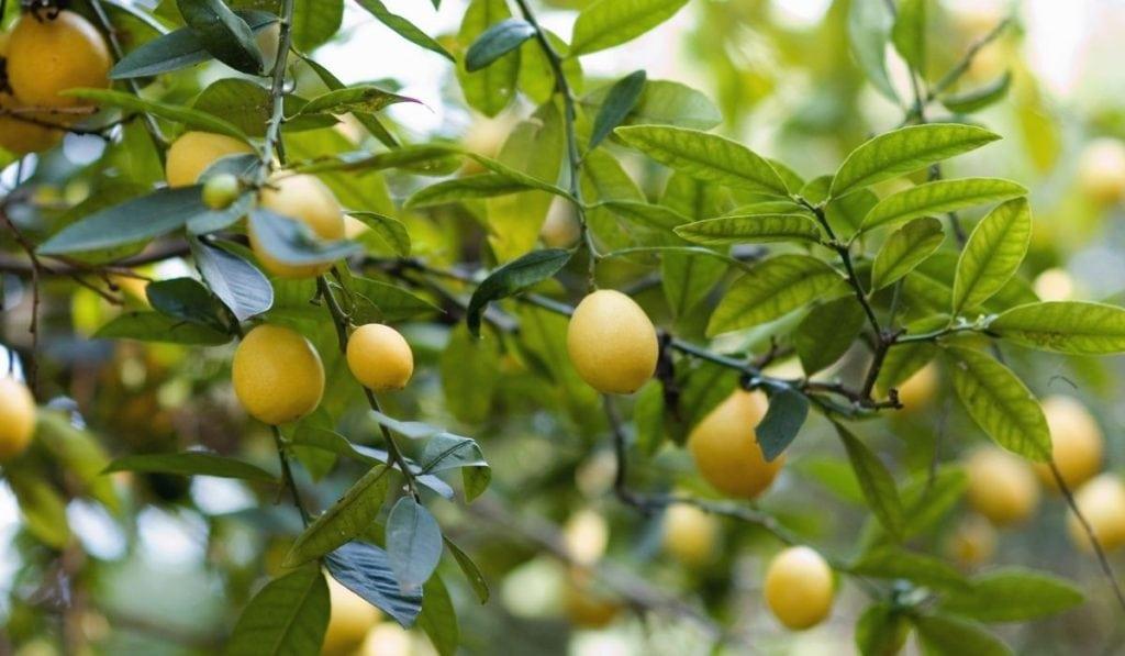 Kusiae Lime Tree