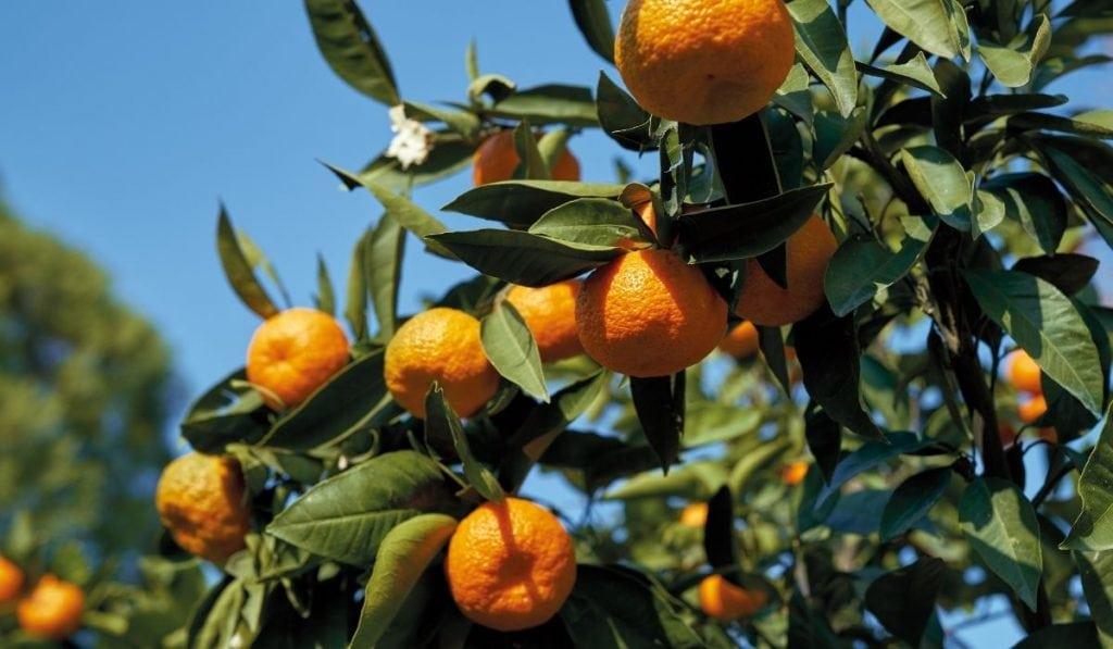 Mandarin Lime Tree