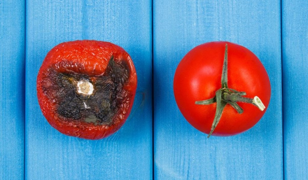 Old wrinkled tomato and fresh tomato