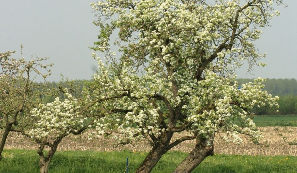 Pear Tree Pollination