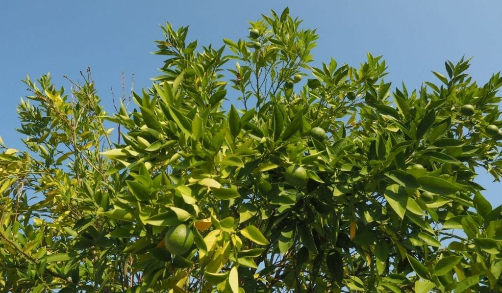 Tahiti Lime Tree Bearss