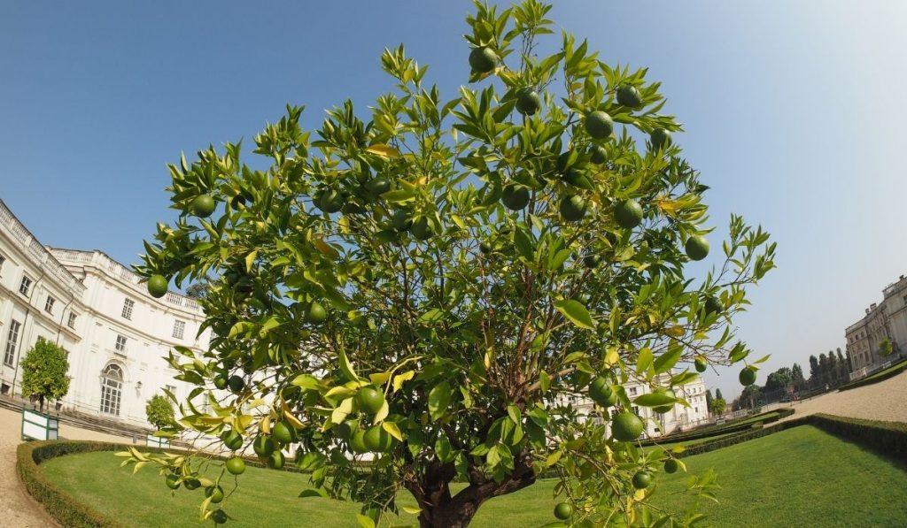 Tahiti Lime tree