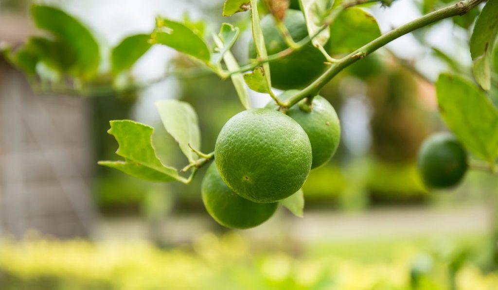 Thai Lime Tree
