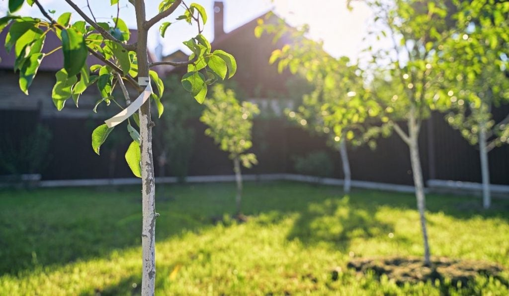 apple and pear tree