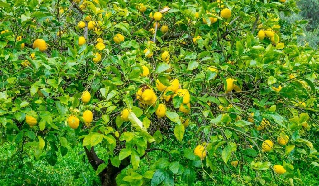 Dwarf Lemon Trees