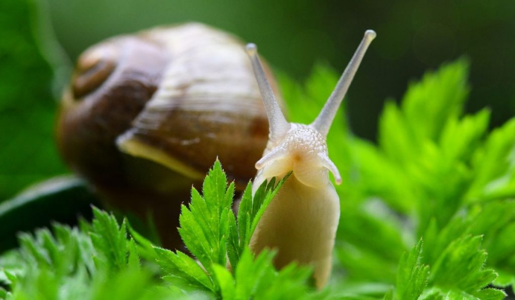 Garden Snails In The Grass
