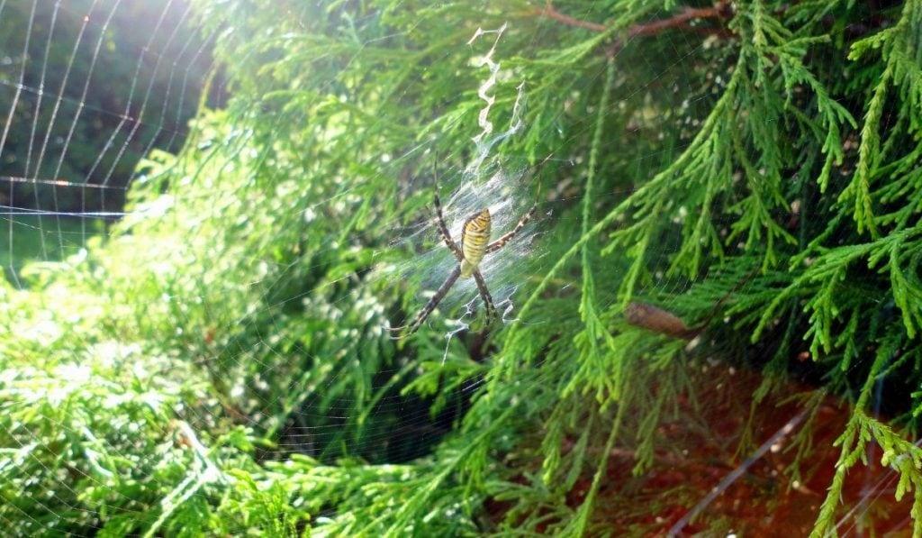 Garden Spiders In the Web