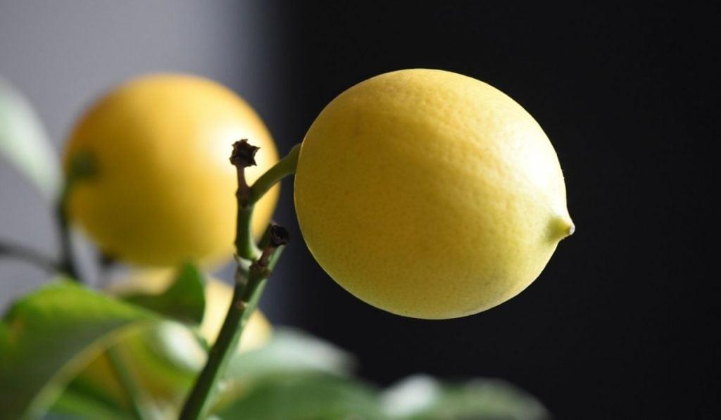 Meyer Lemon Fruit