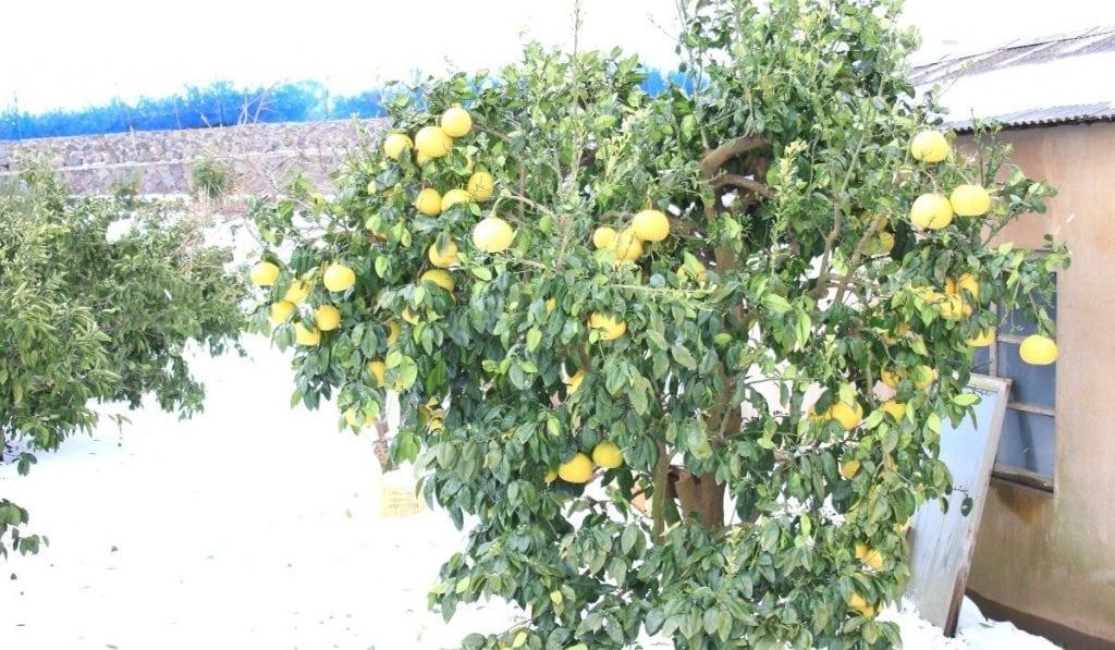 Meyer Lemon Tree  During Winter