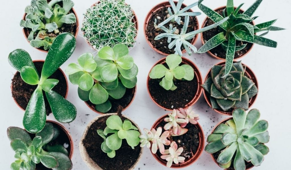 Succulent plants in pot