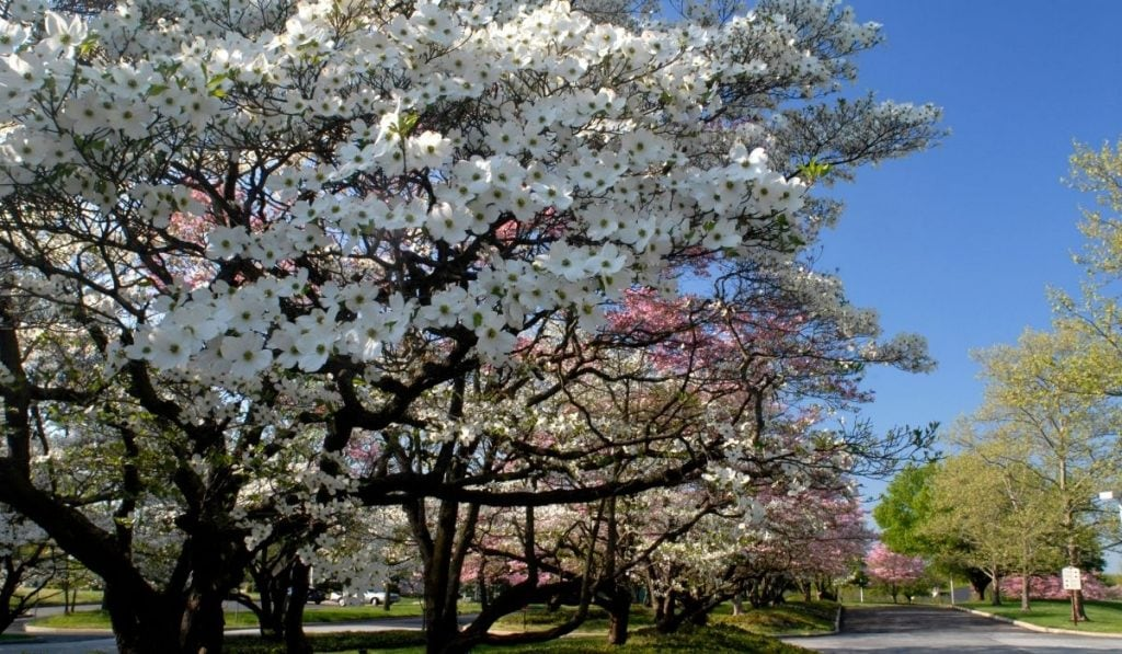 Dogwood tree next to a road