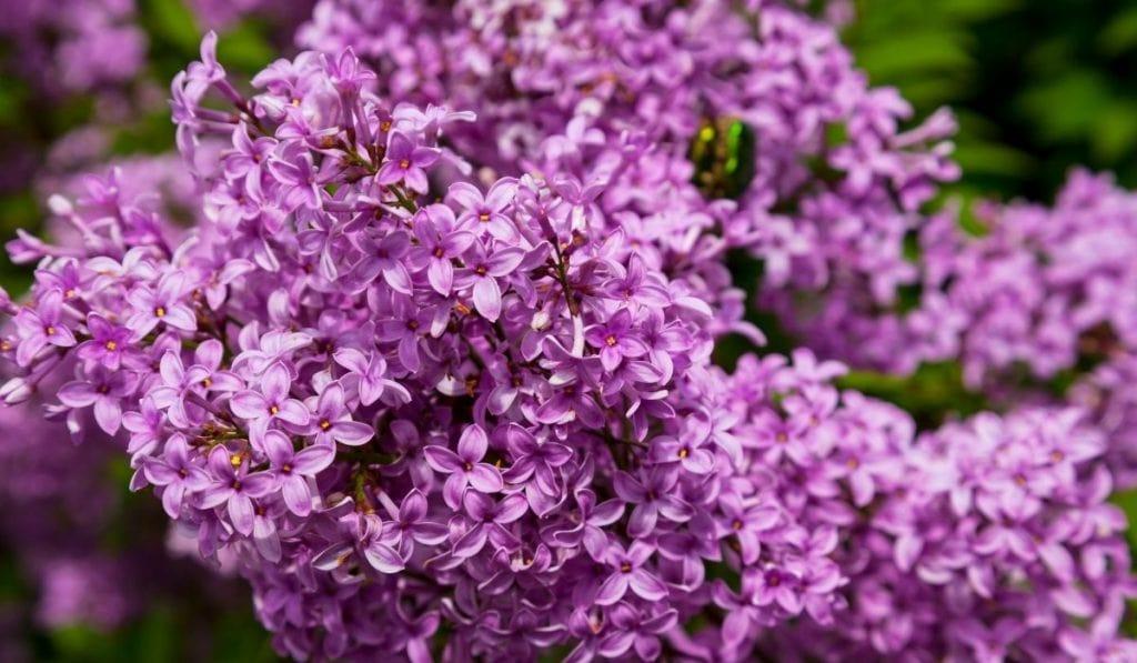 Fragrant Lilac (Syringa vulgaris)