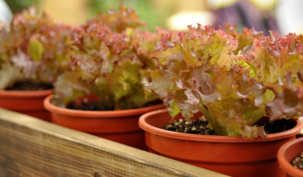 Growing lettuce in a container