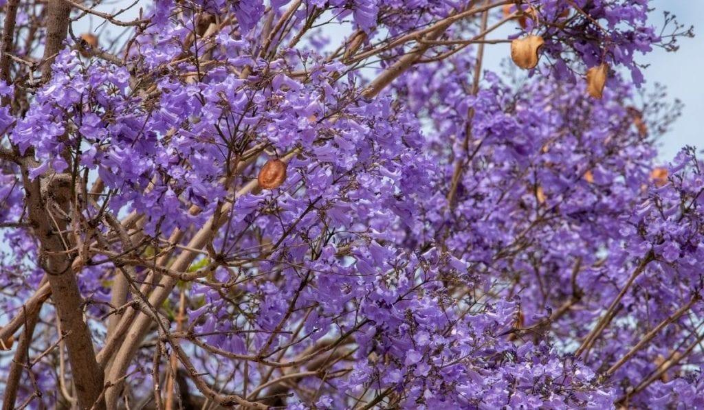 Jacaranda Tree (Jacaranda mimosifolia)
