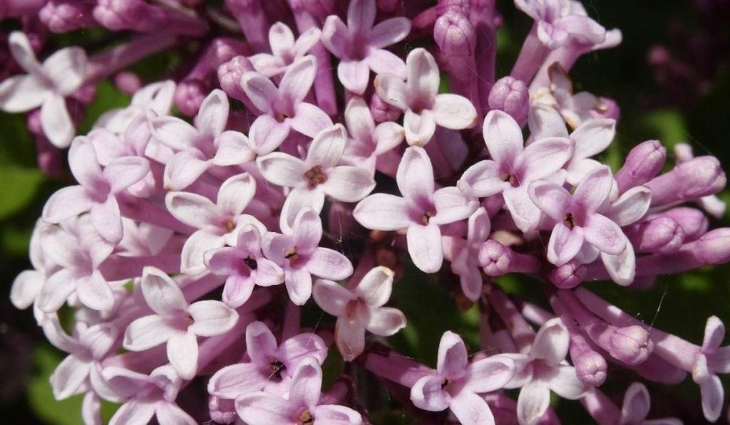 Korean Lilac Tree (Syringa meyeri 'Palibin')