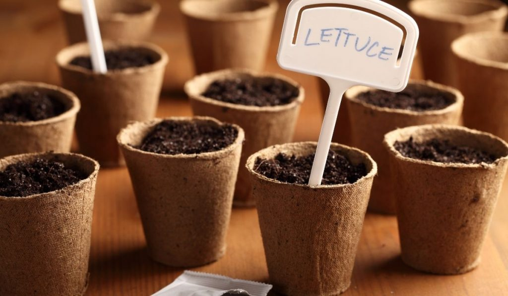Planting Lettuce In Containers