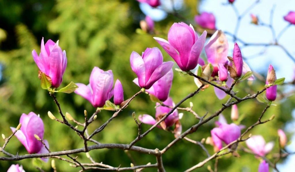 Purple Lily Magnolia (Magnolia liliflora)