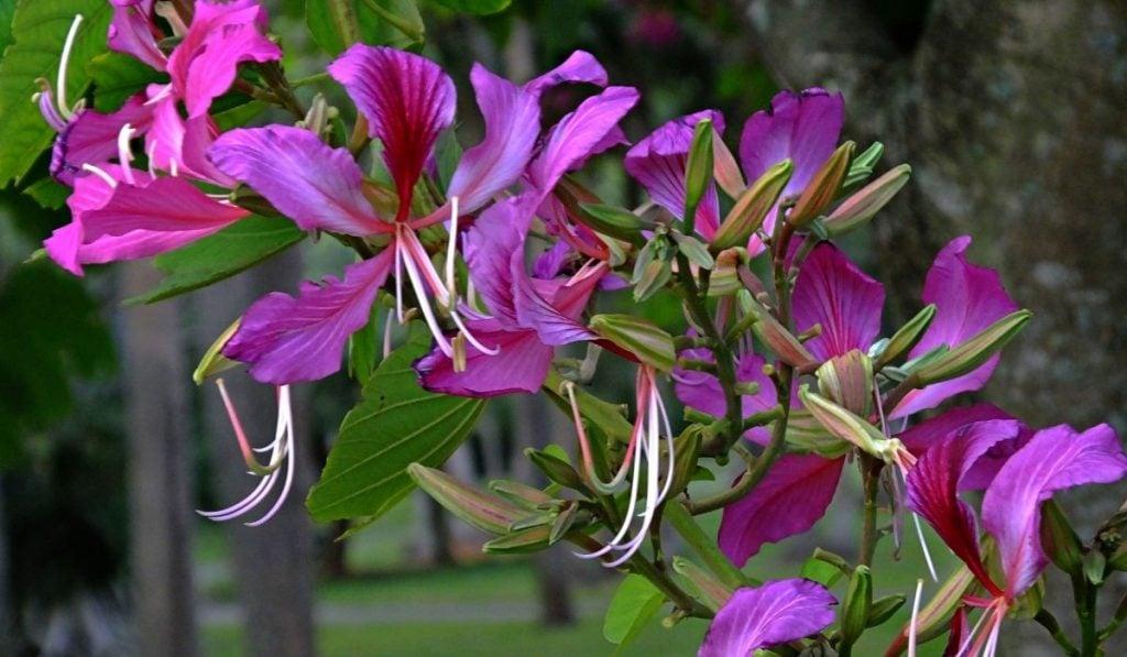 Purple Orchid Tree (Bauhinia Purpurea)