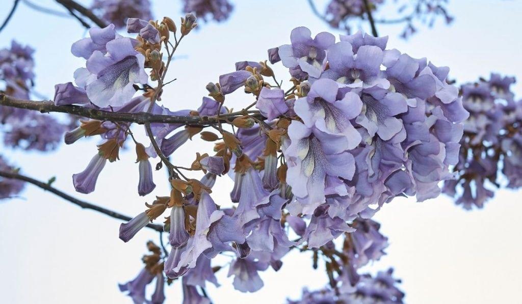 Royal Empress Tree (Paulownia Tomentosa)