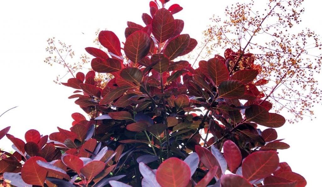 Royal Purple Smoke Tree
